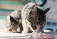 Dieta Barf per i gatti: vantaggi e svantaggi della dieta a base di carne cruda