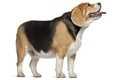 Alimentazione per Beagle sterilizzato