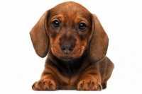 Alimentazione cucciolo Bassotto