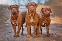 Sospetta displasia all'anca per un Dougue de Bordeaux
