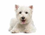 Lacrimazione occhi per una cucciola di Maltese