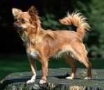 Chihuahua con orecchie abbassate