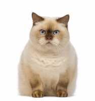 Gatto Sterilizzato Che Tende Al Sovrappeso Con La Complicazione Dei Calcoli