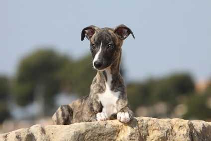 Alimentazione a basso indice glicemico per cagnolina 11 anni