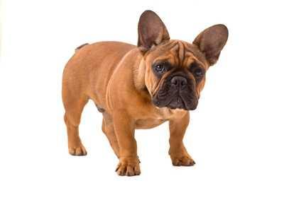 Alimentazione ad esclusione per Bulldog Francese