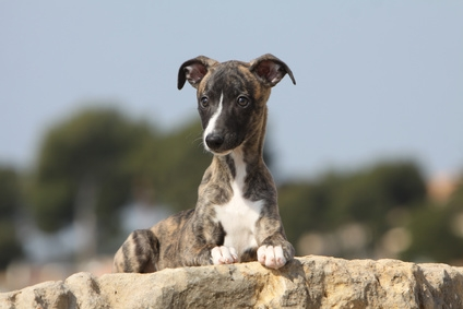 Alimentazione consigliata per Greyhound