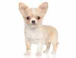 Alimentazione cucciolo di Chihuahua