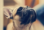 Alimentazione per Bulldog Francese con colite