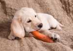 Alimentazione per cane con insufficienza renale