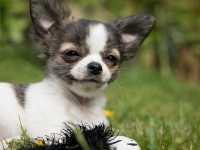Alimentazione per cucciolo di Chihuahua
