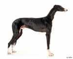 Alimentazione per un cane Galgo di 2 anni con problemi intestinali