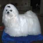 Arrossamento orecchio ed alimentazione per un cane maltese