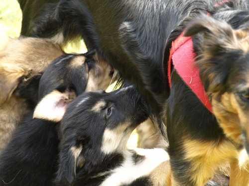 Cagnetta che ringhia al padre dei cuccioli