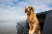 Cane che si agita notevolmente in auto, cosa fare?