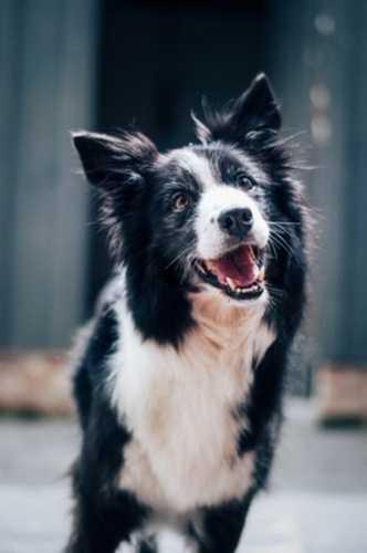 Cane con granuloma sulla zampa causato da forasacco