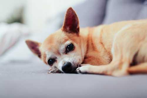 Chihuahua di anni 9 con problemi neurologici