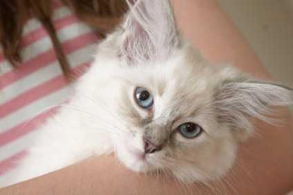 Come diagnosticare un probabile linfoma intestinale di un gatto