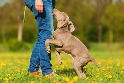Come insegnare al cane a non saltare addosso