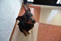 Come introdurre un nuovo cane in casa