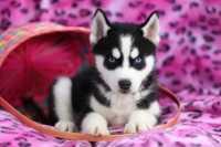 Come riconoscere un ciclo regolare o anomalo nel cane. Esempio pratico