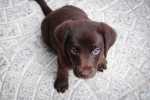 Come tornare ad una dieta classica per cani dopo una dieta ipoallergenica