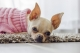 Consigli per l'educazione di un Chihuahua