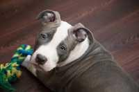 Consiglio alimentazione cucciolo Pitbull