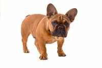 Consiglio alimentazione per Bulldog Francese con flatulenza