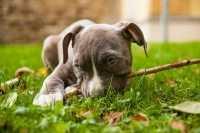 Consiglio alimentazione per cucciola simil Amstaff
