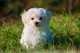 Consiglio alimentazione per cucciolo di Maltese