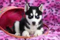 Consiglio alimentazione per cucciolo di Siberian Husky