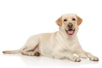 Consiglio alimentazione per Labrador con gastrite