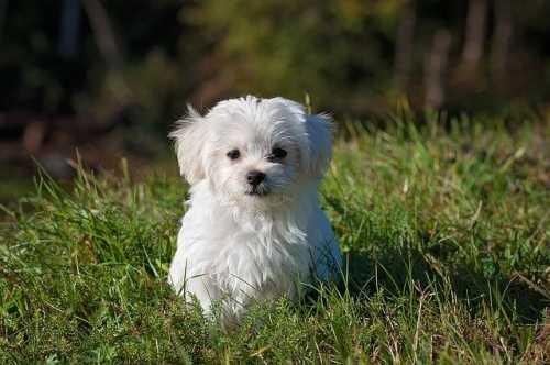 Consiglio crocchette per cucciolo di Maltese