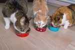 Convivenza problematica tra gatti