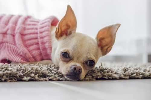 Cucciola di Chihuahua che fa i bisogni solo in casa