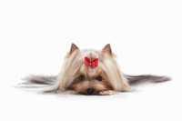 Cucciolo di cane yorkshire appena nato e poi sparito