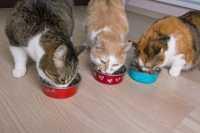 Cucciolo di gatto abituato al cibo fresco, come fargli mangiare scatoline o altro