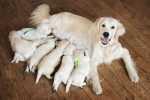 Fecondità e gravidanza del cane, esami da fare. Esempio pratico