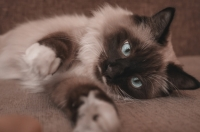 Gattina Siamese di difficile gestione
