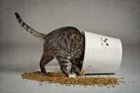 Gatto che vomita dopo i pasti, ci dobbiamo preoccupare?
