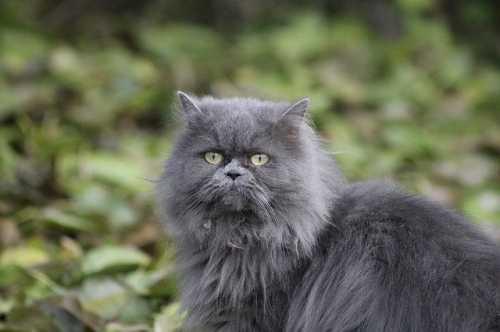 Gatto con crosticine probabilmente causate da stress