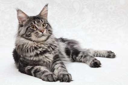 Gatto con infestazione da coccidi e da ascaridi, sintomi