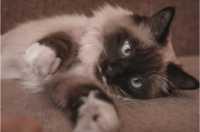 Gatto con intervento al dotto toracico