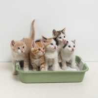 Gatto maschio che urina in casa, cosa fare?
