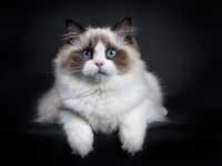 Gatto Ragdoll: una delle migliori razze di gatti da appartamento
