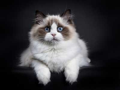 gatto ragdoll una delle migliori razze di gatti da