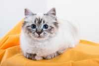 Gatto Sacro di Birmania, una tra le più belle ed eleganti razze di gatti da appartamento