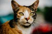 Il gatto calico e la sindrome di Klinefelter