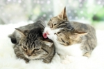 Integrazione fra gatti difficile dopo la sterilizzazione, come fare?
