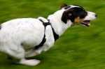 Jack Russell che abbaia ed insegue gli altri cani, come gestirlo?